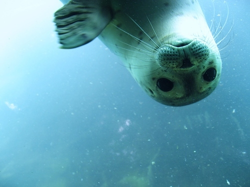 Why Seals Can Hold Their Breath Underwater For Longer Than Me